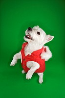 White terrier dog dressed in red coat standing on back haunches