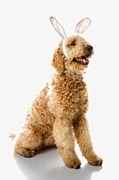 Goldendoodle dog in bunny ears