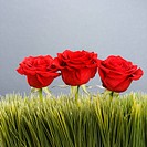 Three red roses growing out of artificial green grass.