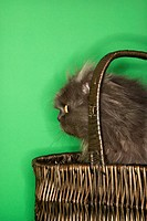 Gray Persian cat sitting in basket