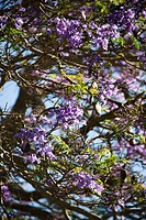 Close_up of Jacaranda tree blooming with purple flowers in Maui, Hawaii