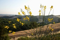 Yellow wildflower growing on hillside in Tuscany, Italy
