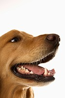 Close up of Golden Retriever dog