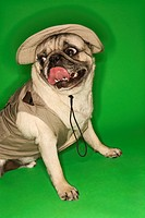Pug dog wearing safari outfit