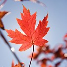 Single red autumn maple leaf with blue sky in background