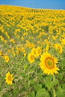 Sunflowers growing in field in Tuscany, Italy