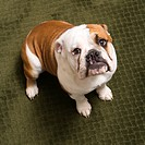 English bulldog puppy sitting on carpet looking up at viewer