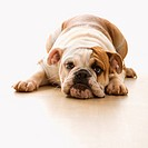 English Bulldog lying on floor looking at viewer