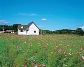 Autumn, scenery, cosmos, field, landscape, house, nature (thumbnail)