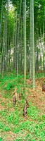 bamboo shoot, landscape, bamboo tree, forest, scenery, panoramic view, nature