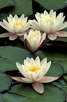 aquatic plant, blooms, bloom, attraction, abloom