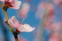 branch, tree, spring, buds, peach tree, pure, pink