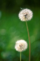 flora, blowball, faded, dandelion, calf, flower, austria