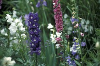 bloom, Bell, Bernhard, bellflowers, bellflower, abloom