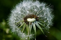 saeublume, adligenswil, blowball, blur, blurred, dandelion, flower