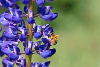 outdoors, flora, lupin, lupine, bee, national park, nature reserve