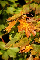 autumn_like, ahornblaetter, autumn, alfred, ahorngewaechse, aceraceae