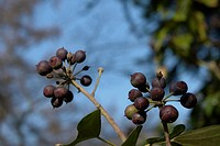 wiesen, felder, berne, berries, berry tree, berrybush, bilberries