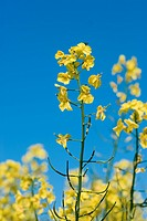 colza, cultivation, blue sky, crop, useful plant, yellow, canola field