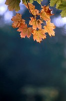 branch, autumn, botany, autumnless, autumn_like, austria