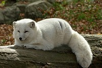 Fur, coat, skin, pelt, winter, wintertime, fox (thumbnail)