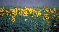 helianthus, autumn, glowing, calf, burgenland, lafnitztal, austria
