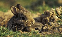 erde, animals, brown, bunny