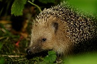 leaves, animal, hedgehog, haas, gluupoog, night, adligenswil