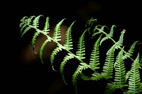 leaf, detail, one, fern, gern, brake, fern whisks