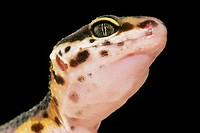 gecko, animals, close_up, CLOSE, black, alfred