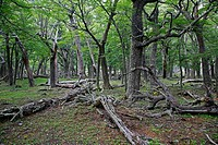 Southern Beech forest at Los Glaciares National Park, El Calafate area, Santa Cruz province  Patagonia  Argentina