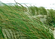 grass, banks, day, beach grass, beach, green, ammophila