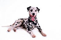 cute, dalmatian, loving, canines, domestic, dalmation