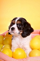 cute, english cocker spaniel, loving, canines, domestic, house pet, cocker spaniel