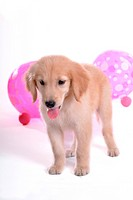 looking down, golden retriever, domestic animal, balloon, retriever, close up, Golden Retriever