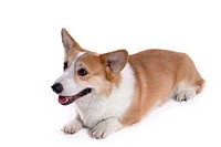 Domestic, cute, loving, canines, corgi (thumbnail)
