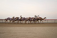 Camels, race, tradition, sport, running, arabic (thumbnail)