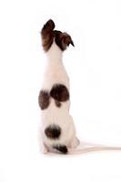 faithful, domestic animal, companion, canine, close up, borzoi