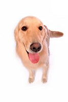 Retriever, animal, golden retriever, petdog, dog, domestic animal, pet (thumbnail)