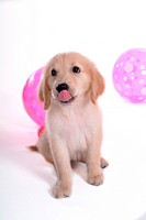 looking up, golden retriever, domestic animal, balloon, retriever, close up, Golden Retriever