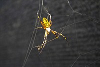 Anthropoda, insect, anthropods, arthropod, animal, spiders, spider (thumbnail)