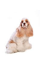 canines, animal, domestic, cocker spaniel, dog, loving, pet