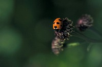 anthropods, bug, arthropod, animal, ladybird, anthropoda, insect