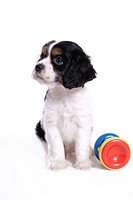 cute, domestic, loving, puppy, canines, house pet, cocker spaniel