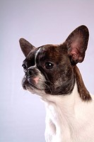 faithful, domestic animal, companion, canine, close up, boston terrier