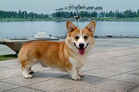 Canines, animal, domestic, corgi, dog, pet (thumbnail)