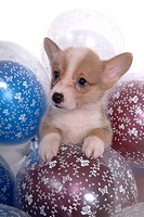 Balloon, puppy, canines, domestic, corgi (thumbnail)