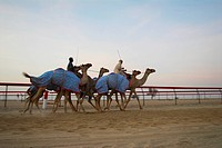 camels, race, tradition, sport, running, arabic