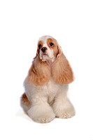Canines, animal, domestic, cocker spaniel, dog, loving, pet (thumbnail)
