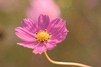 autumn, plant, season, cosmos, flower, fall, nature